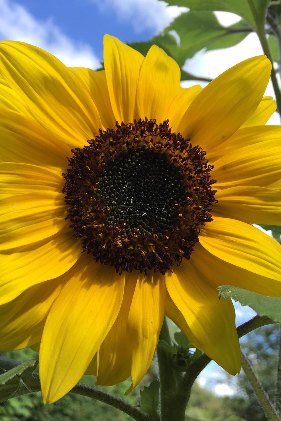 Whizz Maths DM sunflower